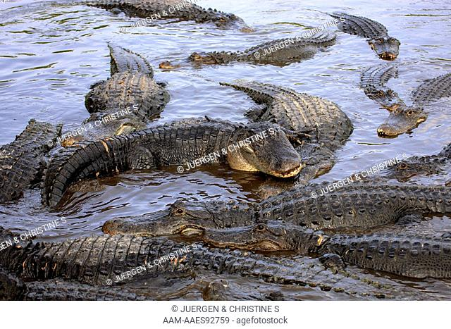 American Alligator (Alligator mississipiensis) adult group feeding in water, Florida, USA