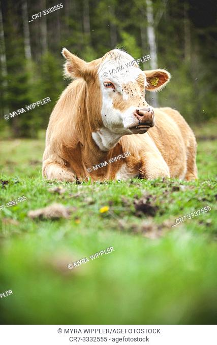 Young cow resting in the meadow