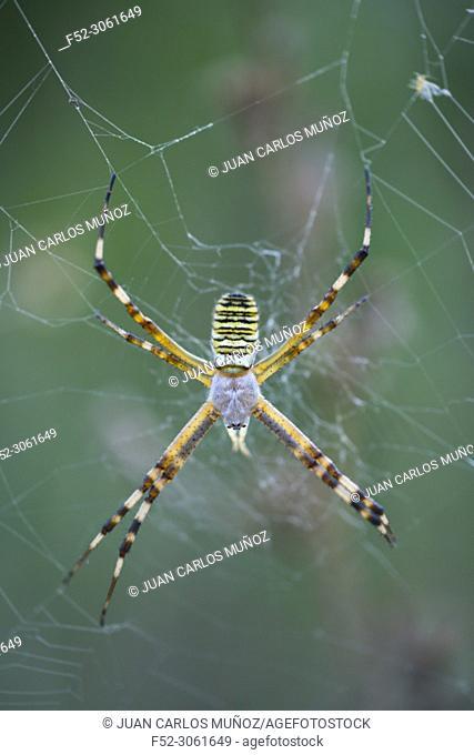 WASP SPIDER (Argiope bruennichi), Néouvielle Nature Reserve, Vallée d'Aure, L'Occitanie, Hautes-Pyrénées, France, Europe
