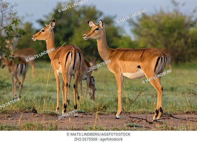 Two Impalas antelopes standing in nice morning light aon their watch, Masai mara, Kenya, Africa
