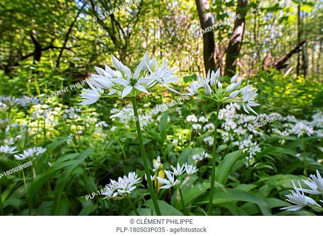 Ramsons / buckrams / wild garlic / broad-leaved garlic / wood garlic (Allium ursinum) in flower in forest in spring