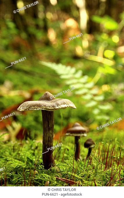 Several brown unidentified fungi growing in mossy woodland