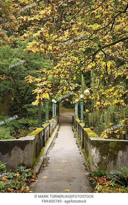 Bigleaf Maple over concrete footbridge, autumn Acer macrophyllum