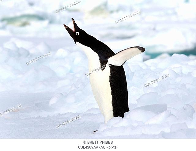 Adelie penguin on the ice floe in the southern ocean, 180 miles north of East Antarctica, Antarctica