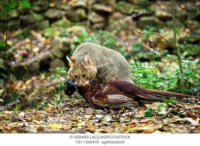 JUNGLE CAT felis chaus, ADULT WITH A KILL, A COMMON PHEASANT phasianus colchicus