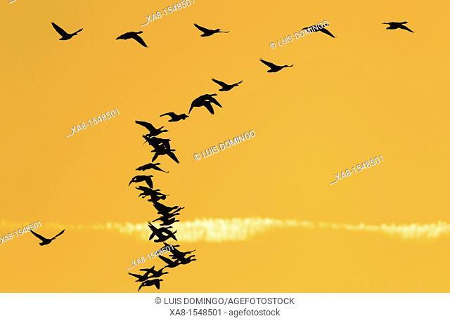 flock of cormorants flying at sunset