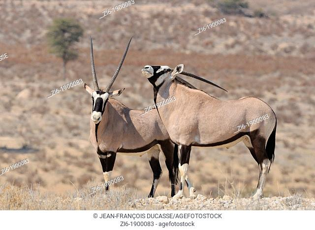 Gemsboks, Oryx Gazella, Kgalagadi Transfrontier Park, Northern Cape, South Africa