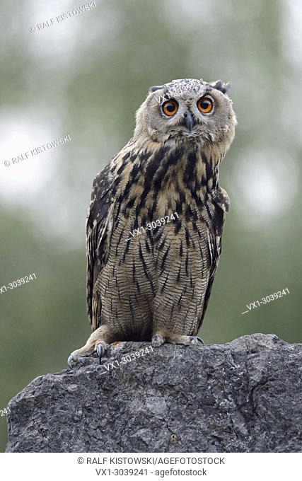 Northern Eagle Owl (Bubo bubo), perched on a rock in an old quarry, moves its head, seems to be curious, wildlife, Germany.