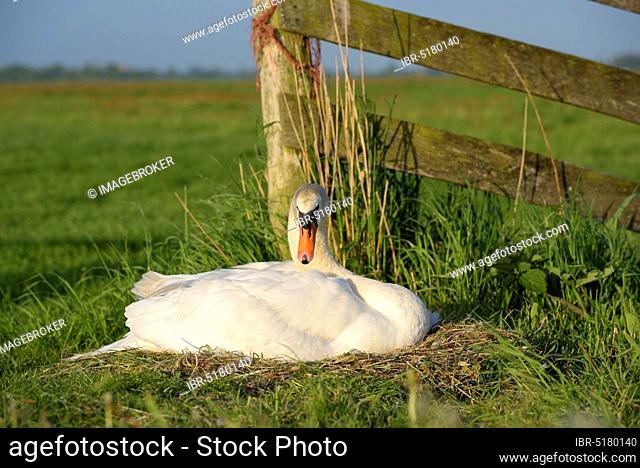 Mute swan, female on nest, breeding, May, Gelderland, Netherlands