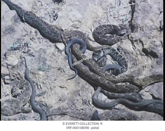 Zoom in to large group of snakes on rock