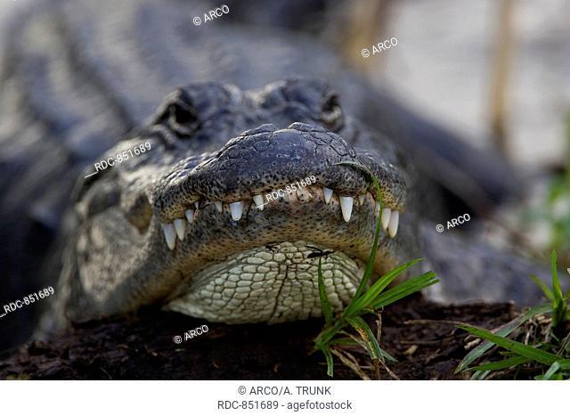 Alligator, Alligator mississipiensis, Aligator