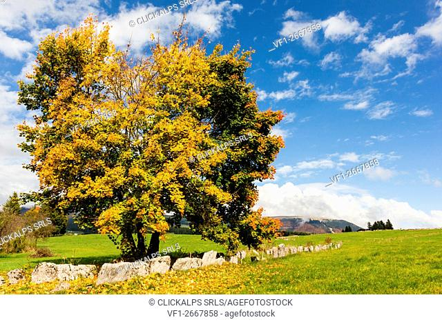 Altopiano of Asiago, Province of Vicenza, Veneto, Italy. Large beech tree along path in autumn