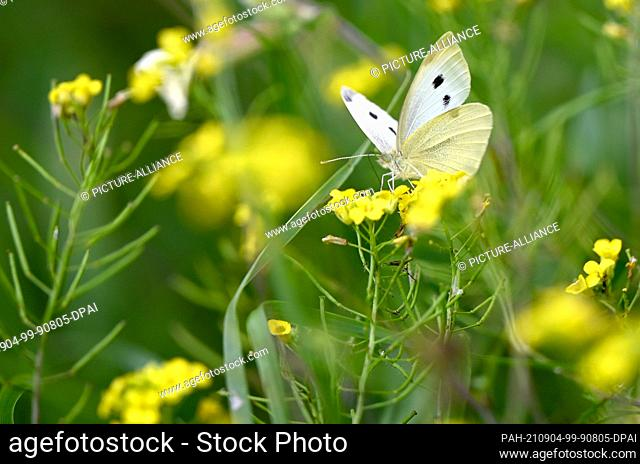 01 September 2021, Berlin: A cabbage white butterfly (Pieris indet.) sits on the flower of a buttercup (Ranunculus) in the Karower Teiche nature reserve