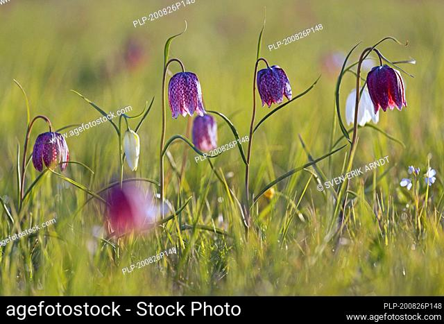 Snake's head fritillaries / chequered lilies (Fritillaria meleagris) in flower in meadow / grassland in spring