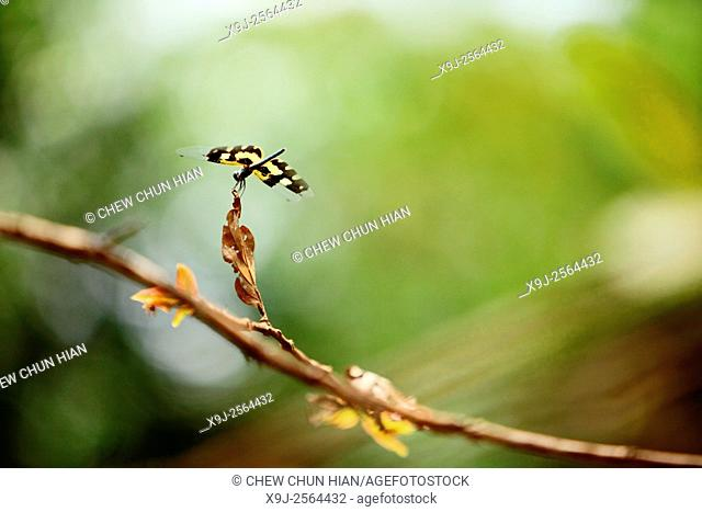 dragon fly, asia