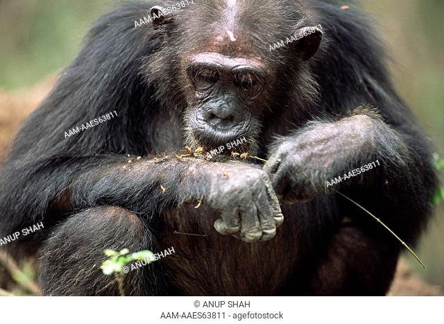 Female Chimpanzee 'Gremlin' eating termites off twig (Pan troglodytes schweinfurtheii) example of tool using, Gombe National Park, Tanzania 2003