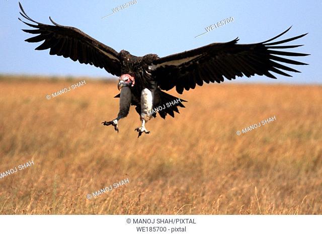 Nubian vulture landing Masai Mara National Reserve, Kenya