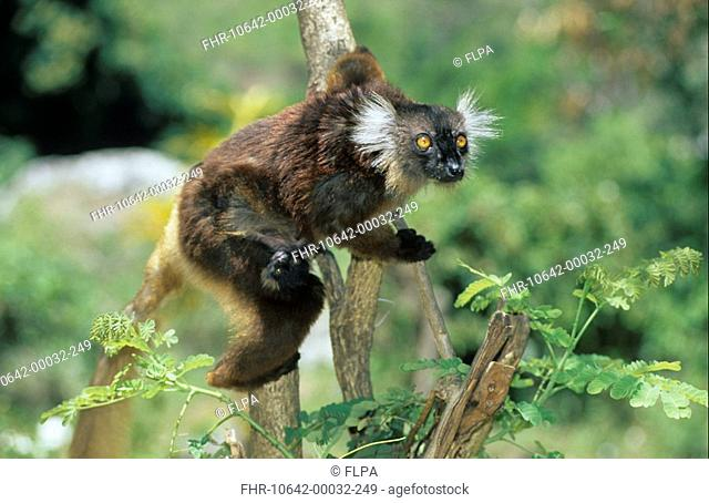 Black Lemur Lemur macaco Female with young - one week old