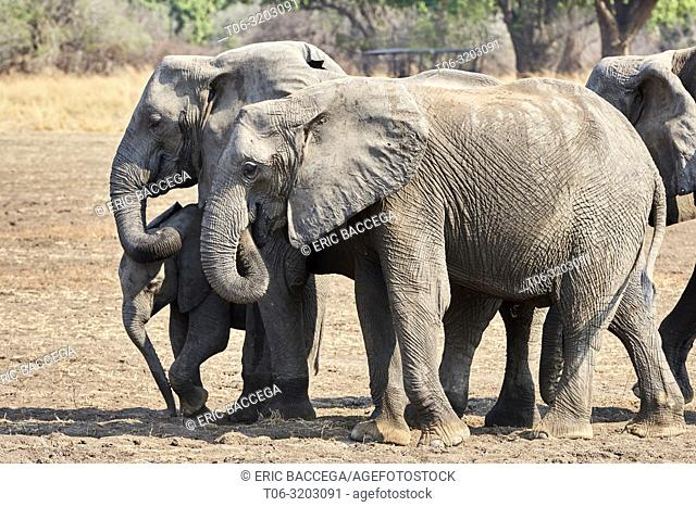 African elephant group (Loxodonta africana) with calf, South Luangwa National Park, Zambia