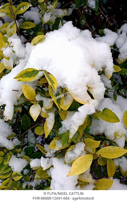Japanese Privet, Ligustrum japonicum, fresh snow collecting on variegated leaves of hedge in garden, Berkshire, England, February