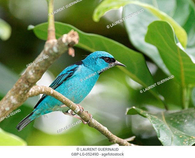 Bird, Male Leave-blue, North Coast, Camburi, São Paulo, Brazil