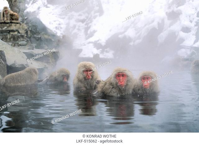 Snowmonkeys, Japanese Macaques in hot spring, Macaca fuscata, Japanese Alps, Japan