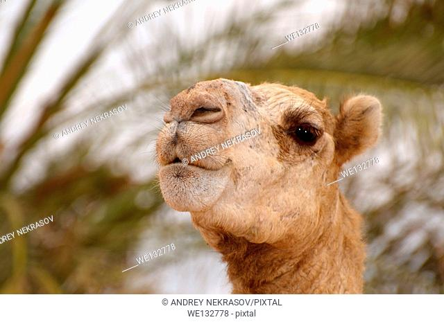 Dromedary camel or Arabian camel (Camelus dromedarius), portrait, Dahab, Egypt, Africa