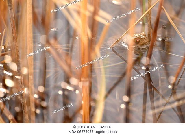 The head of a toad looking between reed stalks from the water