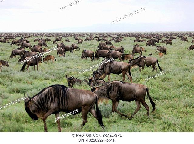 Blue wildebeest migration