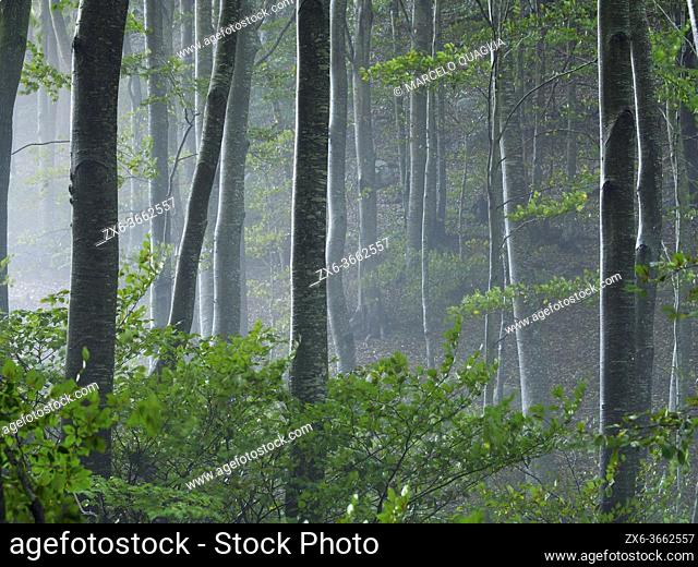Misty beech forest (Fagus sylvatica) at Coll Sesferreres site. Montseny Natural Park. Barcelona province, Catalonia, Spain