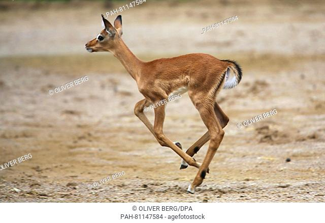 A newborn impala runs through an enclosure at the zoo inCologne, Germany, 02 June 2016. The baby impala was born in late May