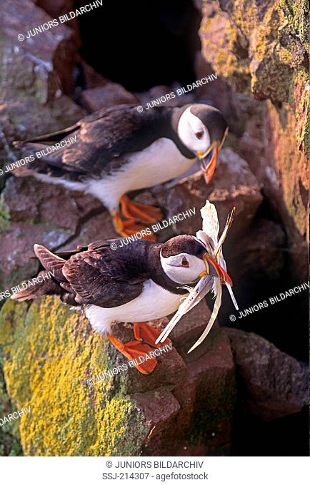 Atlantic Puffin (Fratercula arctica). Parent bird carrying feathers to nest, while its mate is watcing. St. AbbsÃ'Â'Head, Northumberland, England