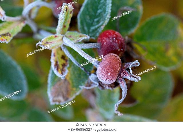 Close-up of hoarfrost covered rose bud