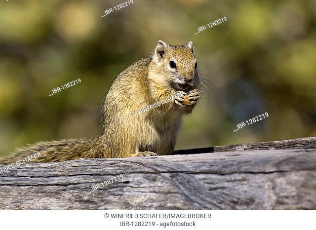 Yellow-footed Squirrel, Tree Squirrel or Smith's Bush Squirrel (Paraxerus cepapi), Savuti, Choe National Park, Botswana, Africa
