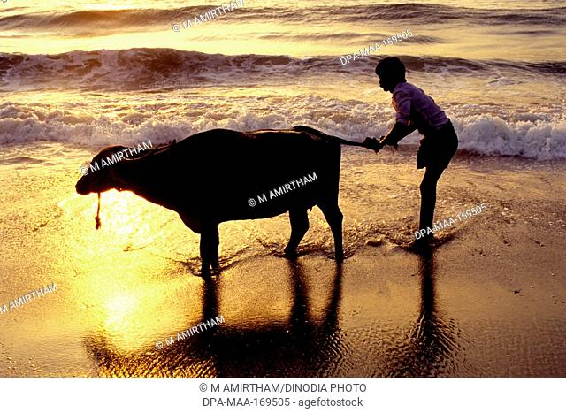 Man bathing buffalo at marina beach in Madras Chennai , Tamil Nadu , India