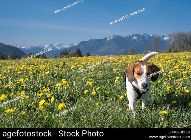 Beagle genießt den Frühling in Oberbayern in einer blühenden Löwenzahnwiese