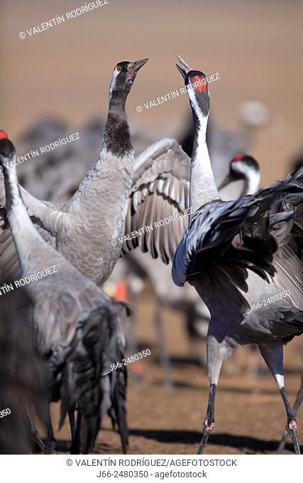 Cranes (Grus grus) in the wildlife reserve Gallocanta. Zaragoza. Spain