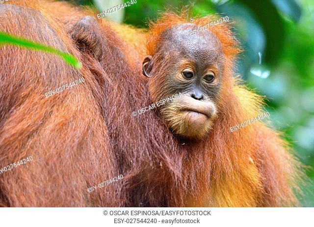 Orangutan in the jungle in Bukit Lawang, Sumatra, Indonesia