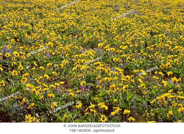 Spring bloom of Northwest balsamroot Balsamorhiza deltoidea and broad-leaf lupine Lupinus latifolius, Tom McCall Preserve