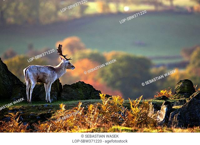 England, Leicestershire, Bradgate Park. A Fallow Deer Dama dama in Bradgate Country Park, Leicestershires largest and most visited Country Park