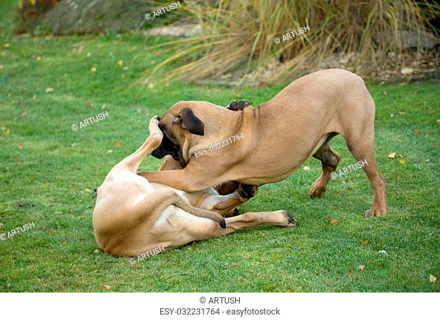 two young female of Fila Brasileiro (Brazilian Mastiff) playing outdoor on green grass