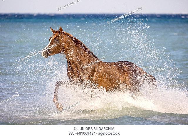 Arabian Horse. Chestnut stallion trotting in the sea. Egypt