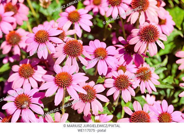 Eastern purple coneflower Echinacea purpurea is a species of flowering plant in the genus Echinacea