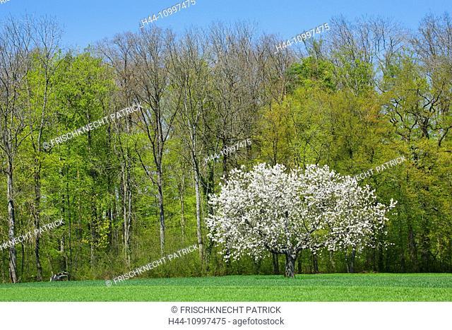 Cherry tree in spring, Prunus avium, Baselland, Switzerland