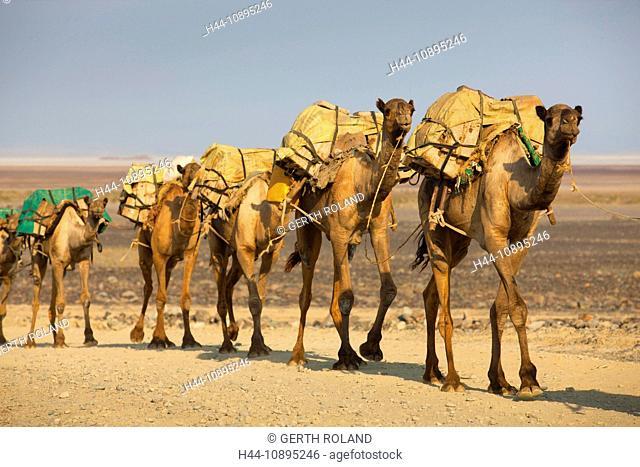 Ahmed Ela, Africa, Ethiopia, Afar region, Afgar, Danakil, desert, camels, dromedaries, caravan, salt caravan, way