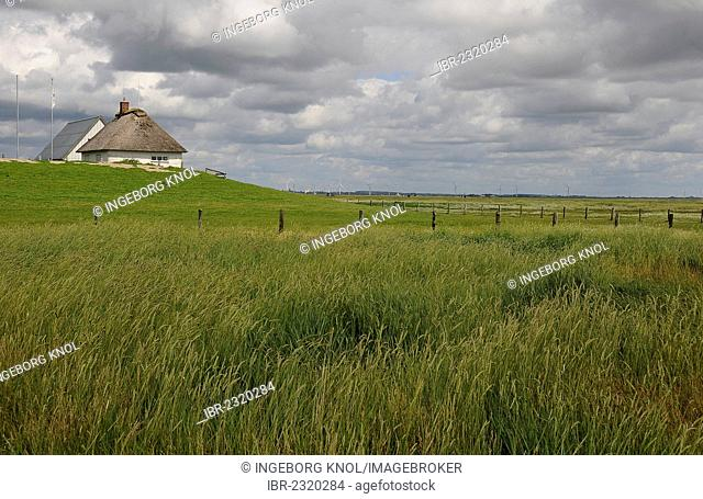 Salt marshes and a house with a thatched roof on a terp, Hamburger Hallig, North Frisia, Schleswig-Holstein, Germany, Europe