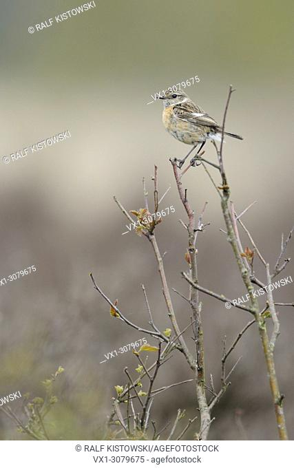 Female European Stonechat ( Saxicola torquata ) perched on top of a bush in front of a natural background of heather, wildlife, Europe