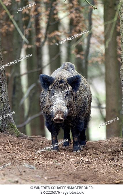 Wild Boar (Sus scrofa), tusker, wildlife park, volcanic Eifel region, Rhineland-Palatinate, Germany, Europe