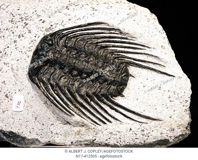 Fossil trilobite (Selenopeltis sp.) from the Devonian of Morocco