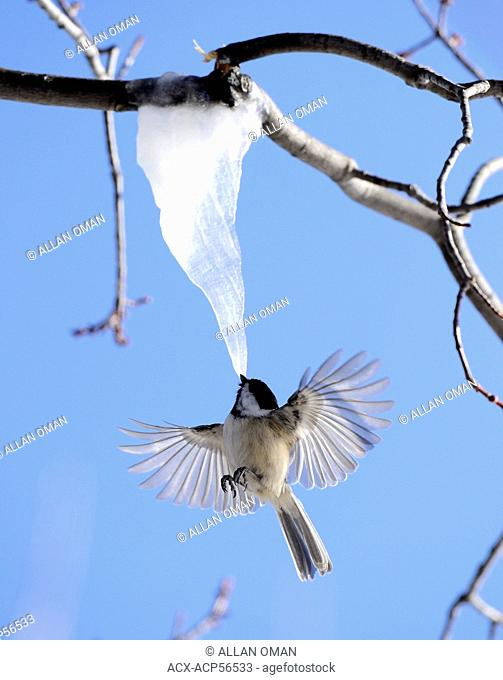 Black-capped Chickadee, Poecile atricapillus, Feeding on maple tree icicle, Vermilion River, Northern Ontario, Canada